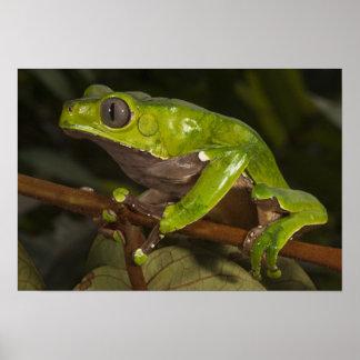 Giant leaf frog Phyllomedusa bicolor) 3 Poster