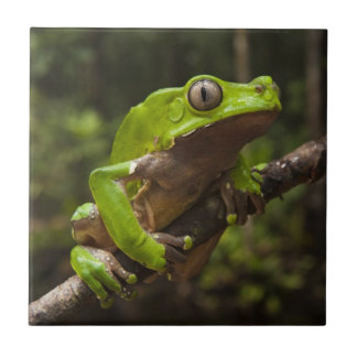 Giant leaf frog Phyllomedusa bicolor) Ceramic Tile