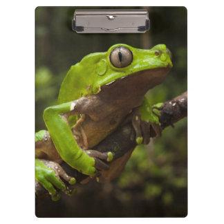 Giant leaf frog Phyllomedusa bicolor) Clipboard