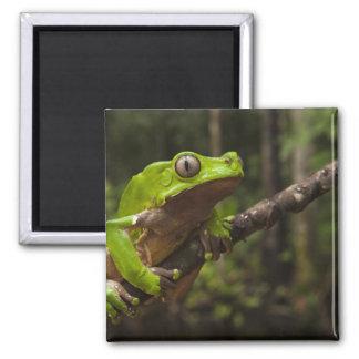 Giant leaf frog Phyllomedusa bicolor) Magnet
