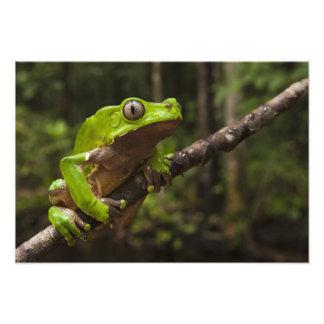 Giant leaf frog Phyllomedusa bicolor) Photo Print
