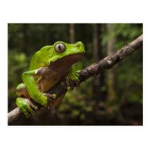 Giant leaf frog Phyllomedusa bicolor) Postcard
