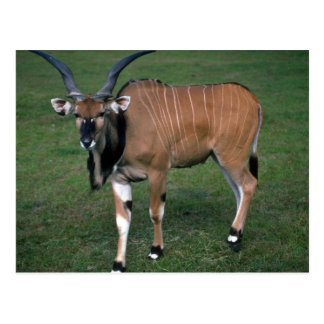 Giant/Lord Derby's Eland-young bull Post Cards