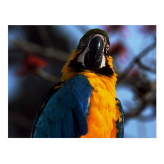 giant mackaw type parrot with blue feathers postcard