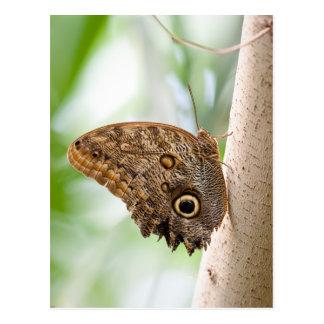 Giant Owl Butterfly Postcard