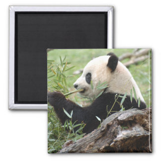 Giant Panda 2 Inch Square Magnet