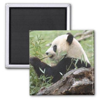 Giant Panda 2 Inch Square Magnet