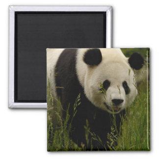 Giant panda (Ailuropoda melanoleuca) Family: 2 Inch Square Magnet