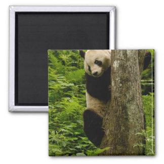 Giant panda Ailuropoda melanoleuca) Family: 2 Magnet