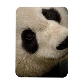 Giant panda (Ailuropoda melanoleuca) Family: 2 Magnet