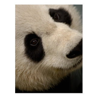 Giant panda (Ailuropoda melanoleuca) Family: 2 Postcard