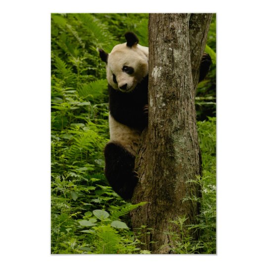 Giant panda Ailuropoda melanoleuca) Family: 2 Poster