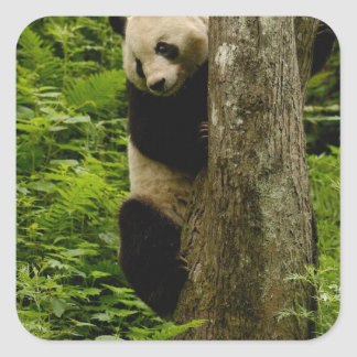 Giant panda Ailuropoda melanoleuca) Family: 2 Square Sticker