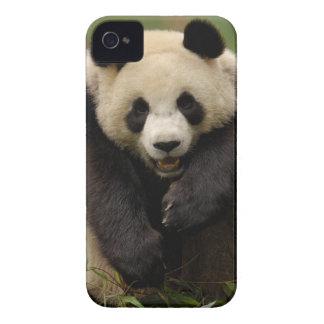 Giant panda (Ailuropoda melanoleuca) Family: 3 iPhone 4 Cover