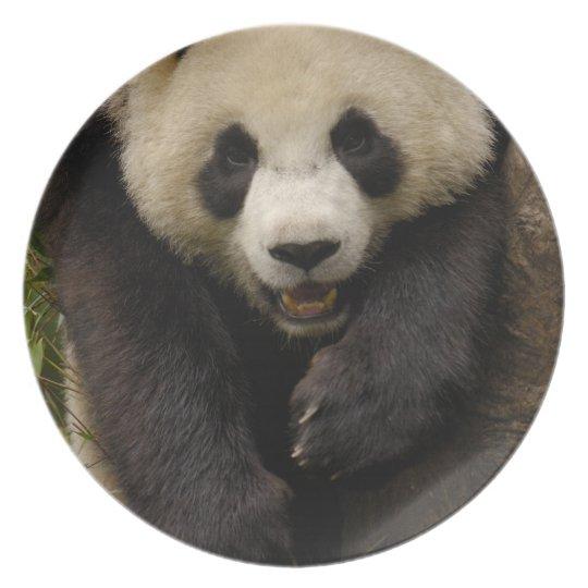 Giant panda (Ailuropoda melanoleuca) Family: 3 Dinner Plate