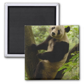 Giant panda Ailuropoda melanoleuca) Family: 3 Magnet