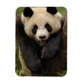Giant panda (Ailuropoda melanoleuca) Family: 3 Magnet