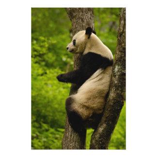 Giant panda Ailuropoda melanoleuca) Family: 3 Photo Print
