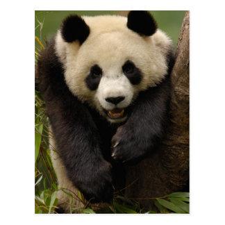 Giant panda (Ailuropoda melanoleuca) Family: 3 Postcard
