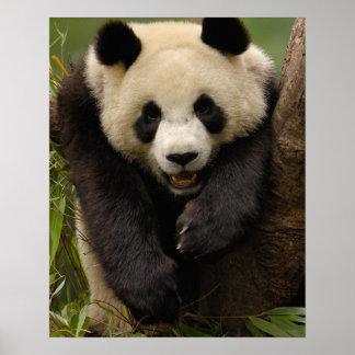Giant panda (Ailuropoda melanoleuca) Family: 3 Poster