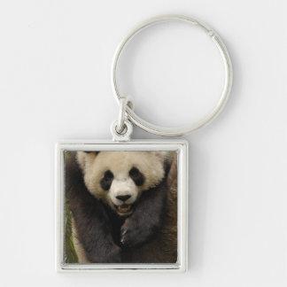 Giant panda (Ailuropoda melanoleuca) Family: 3 Silver-Colored Square Keychain