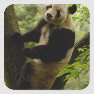 Giant panda Ailuropoda melanoleuca) Family: 3 Stickers