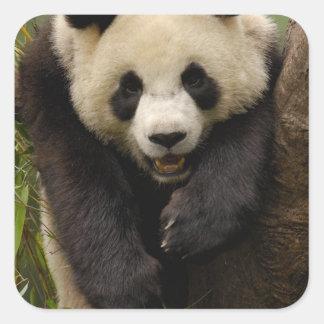 Giant panda (Ailuropoda melanoleuca) Family: 3 Square Stickers