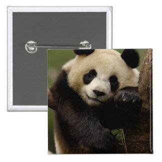 Giant panda Ailuropoda melanoleuca) Family: 4 Button