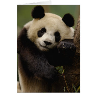 Giant panda Ailuropoda melanoleuca) Family: 4 Card