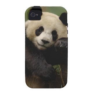 Giant panda Ailuropoda melanoleuca) Family: 4 Case-Mate iPhone 4 Cover
