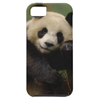 Giant panda Ailuropoda melanoleuca) Family: 4 iPhone 5 Covers