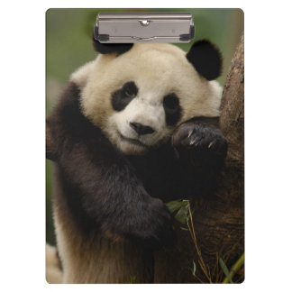 Giant panda Ailuropoda melanoleuca) Family: 4 Clipboards