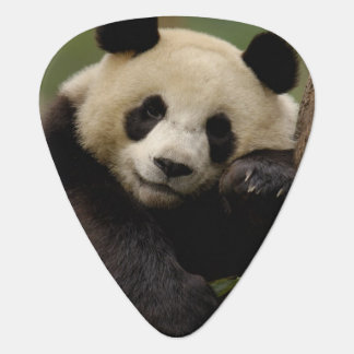 Giant panda Ailuropoda melanoleuca) Family: 4 Guitar Pick