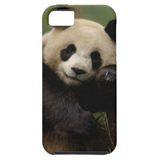 Giant panda Ailuropoda melanoleuca) Family: 4 iPhone SE/5/5s Case