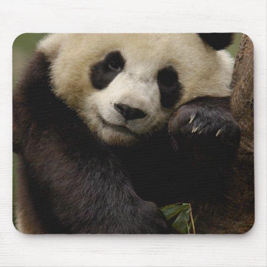 Giant panda Ailuropoda melanoleuca) Family: 4 Mouse Pad