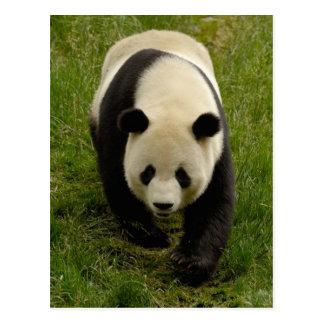 Giant panda (Ailuropoda melanoleuca) Family: 4 Postcard