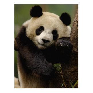 Giant panda Ailuropoda melanoleuca) Family: 4 Postcard