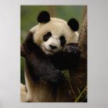 Giant panda Ailuropoda melanoleuca) Family: 4 Posters