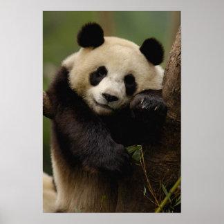 Giant panda Ailuropoda melanoleuca) Family: 4 Poster