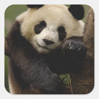 Giant panda Ailuropoda melanoleuca) Family: 4 Square Sticker