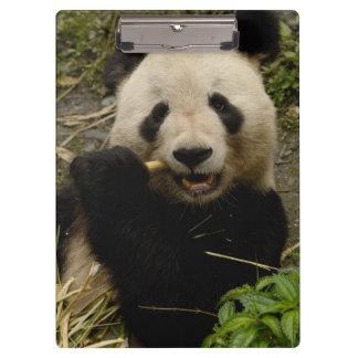Giant panda Ailuropoda melanoleuca) Family: 5 Clipboard