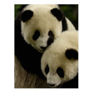 Giant panda (Ailuropoda melanoleuca) Family: 5 Postcard