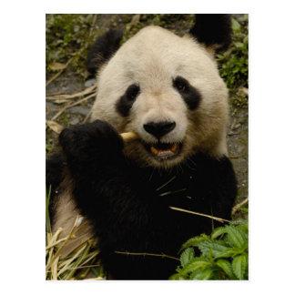 Giant panda Ailuropoda melanoleuca) Family: 5 Postcard