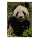 Giant panda Ailuropoda melanoleuca) Family: 5 Posters