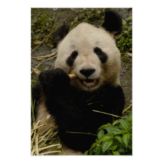 Giant panda Ailuropoda melanoleuca Family 5 Posters