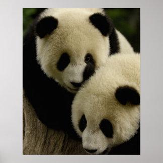 Giant panda (Ailuropoda melanoleuca) Family: 5 Poster