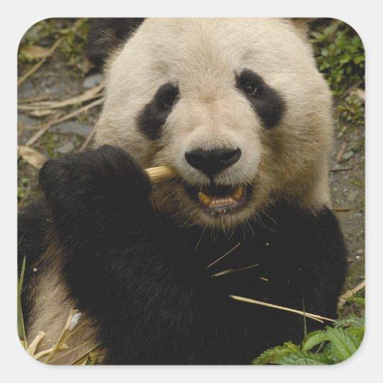 Giant panda Ailuropoda melanoleuca) Family: 5 Square Sticker