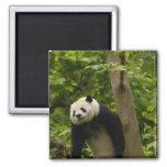 Giant panda Ailuropoda melanoleuca) Family: 6 2 Inch Square Magnet