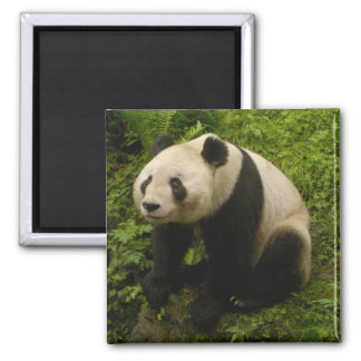 Giant panda (Ailuropoda melanoleuca) Family: 6 2 Inch Square Magnet