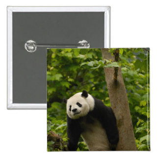 Giant panda Ailuropoda melanoleuca) Family: 6 Button